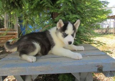 Glamours Siberian husky puppies looking for their ever ...