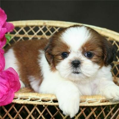 Addorable shih tzu puppy looking for an addorable home