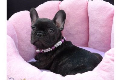 French Bulldog Puppies, akc