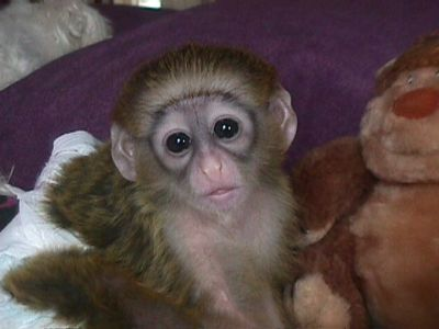 Adorable And Lovely Capuchin Baby Monkeys For Adoptions