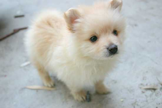 Lovely Little Pomeranian