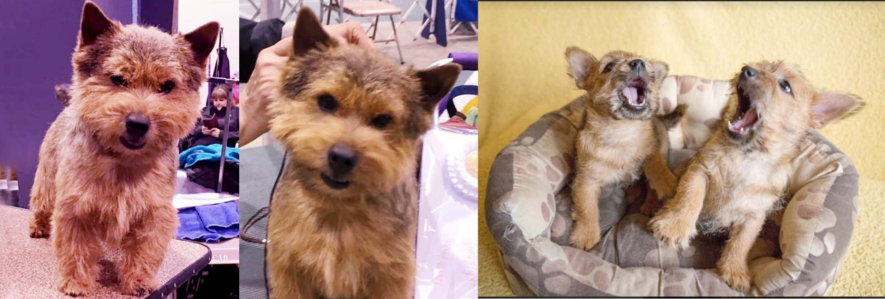 Norwich Terrier Puppies Read for Rehoming