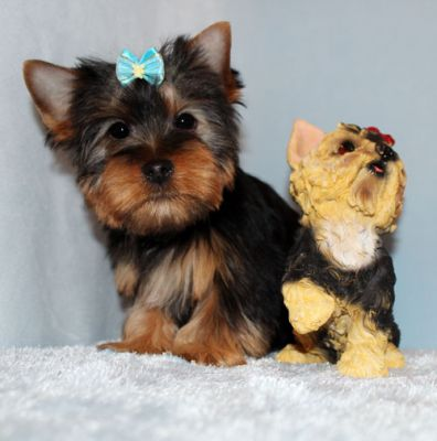 Cute Yorkshire Terrier Puppies  for adoption