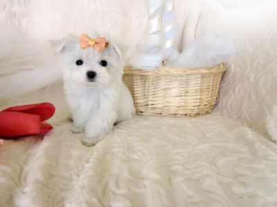 We Have very happy and adorable maltese puppies.