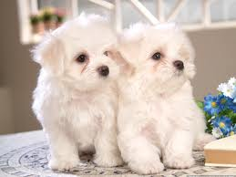 Special and Cute Maltese Puppies For Adoption