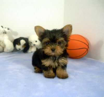 Gorgeous Male and Female T-Cup Yorkie  Puppies
