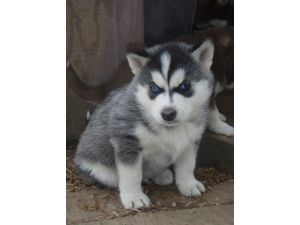Husky River Kennels-3 AKC babies READY THIS WEEKEND!