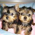 Beautiful Teacup Yorkie Puppies