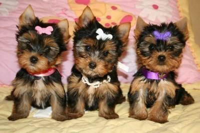 free charming Teacup Yorkie puppies for adoption(gofreyspencer@yahoo.com)