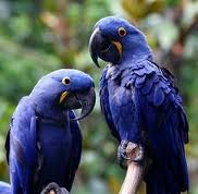 Blue, Yellow Hyacinth Macaw