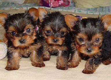 Cute Teacup Yorkie Puppies For R-Homing
