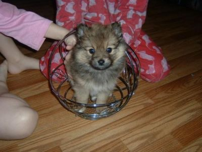 Respectful Pomeranian puppies for a new home