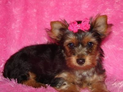ADORABLE YORKIE LOOKING FOR A NEW HOME THIS X-MAS