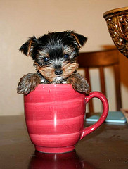 Cute Teacup Yorkies Puppies For Free Adoption