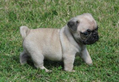 cute and lovely male and female pug puppies for good homes