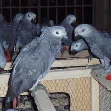 African grey parrot and fertilizer eggs for sale