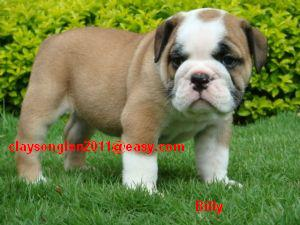 Pretty English bull puppy for rehoming