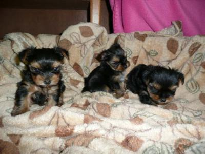 Healthy Tiny Teacup Yorkie Puppies For Free Adoption
