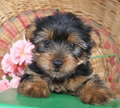 yorkie pippies ready for adoption