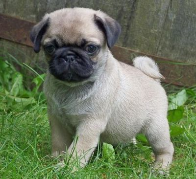 I currently have seven pug babies. One ready to go...
