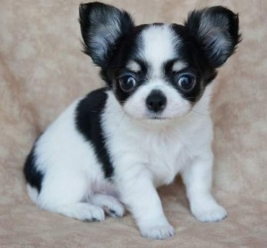 5 chihuahua puppies for free adoption don't miss this!!