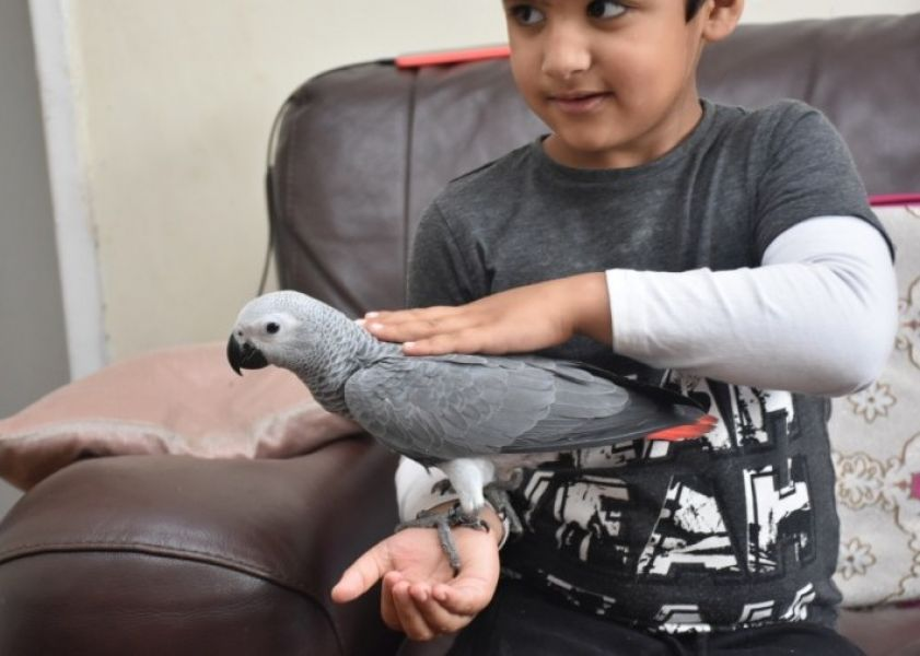 Beautiful African grey parrots are currently available