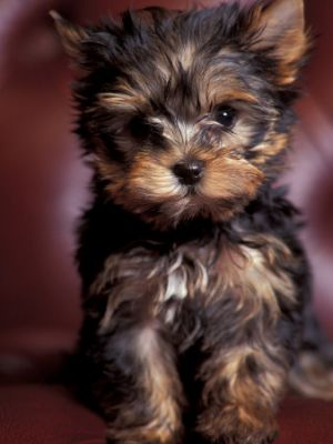 Yorkshire-Terrier puppies need a good family