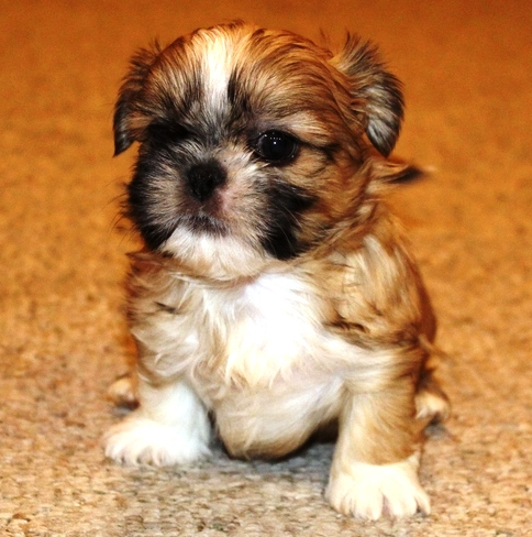 Outstanding Male/Female Shih Tzu puppies available!! (518) 306-1175 .