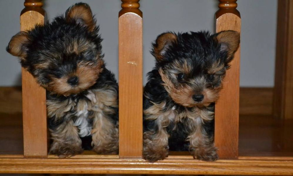 Home raised t-cup yorkie puppies