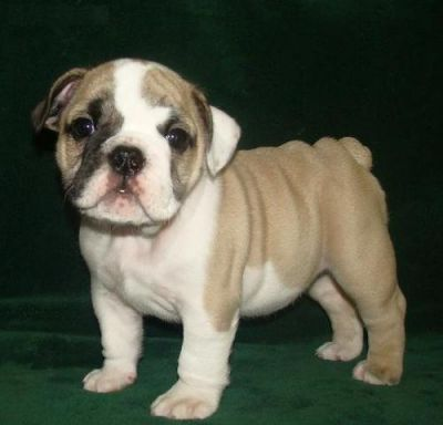 Quality and Geogouse English Bulldog Puppies ready for a new home