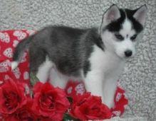 Blue Eye Siberian Hysky Available-(901) 249-9231