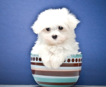 Beautiful Maltese Terrier Puppies