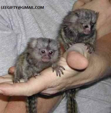 Finger Baby Marmoset Monkeys for sale