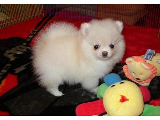 Christmas cute teacup Pomeranian puppies available@