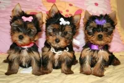Healthy Adorable TeaCup Yorkie Puppies Available