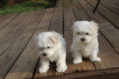 Affectionate Adorable and very cuddly maltese puppies are available now.