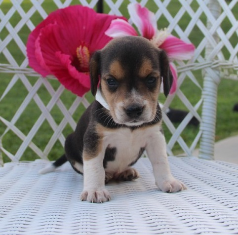 Little sweetheart Beagle Female puppy