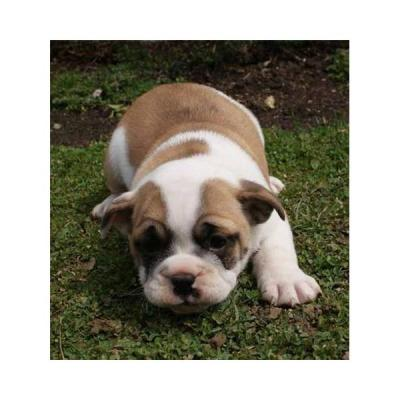 Two Healthy English Bulldog Puppies For Free