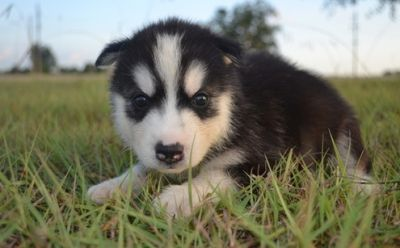 Healthy Looking Siberian Husky Puppies