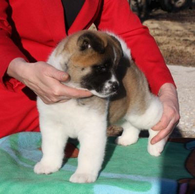 Akita puppies for sale now