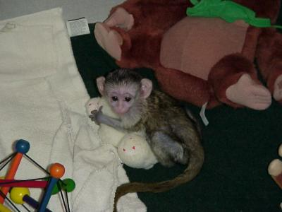INTELLIGENT BABY CAPUCHIN MONKEY SEEKING FOR A HOME(patricia_babies@yahoo.com)