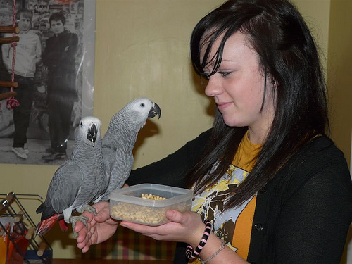 Two lovely African Grey Parrots for re-homing