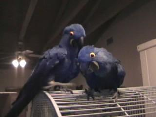 Free adoption pair of Hyacinth Macaw parrots