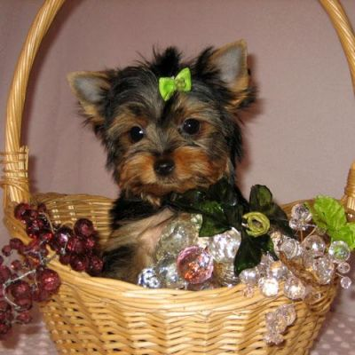 Affectionate male and female teacup yorkie puppies for  adopt