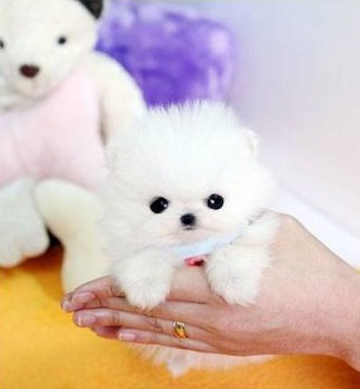 FREE Small Purebred Pomeranian puppies