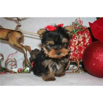 2 baby yorkie puppies for free adoptionpuppies