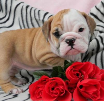 Cute and well trained Christmas English bulldog puppies for adoption