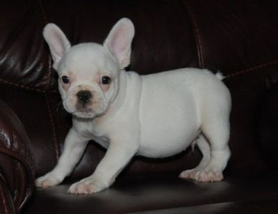 Gorgeous male and Female Fawn Black Mask French Bulldog Puppies