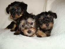 akc adorable yorkie puppies for free adoption....