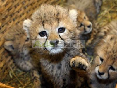 M & C Exotics Cheetah, Tiger, lion Cubs and Fennec Fox For Sale